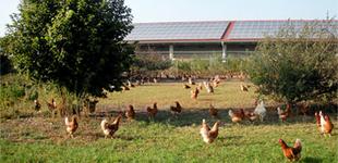 Freilaufende, artgerecht gehaltene Bio-Hühner bei biovum