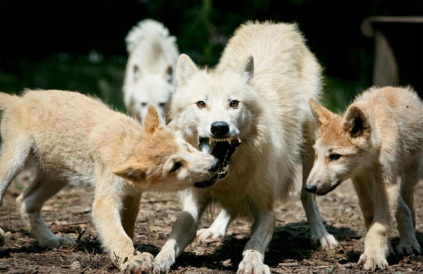 Drei weiße Wölfe kämpfen um Futter im Duisburger Zoo